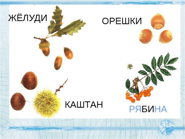 КАШТАН ЖЁЛУДИ ОРЕШКИ