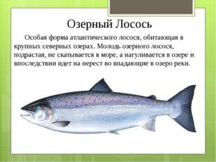 Озерный Лосось Особая форма атлантического лосося, обитающая в крупных северн