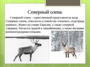 Северный олень Северный олень – единственный представитель рода Северные олен