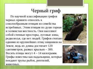 Черный гриф По научной классификации грифов черных принято относить к соколоо