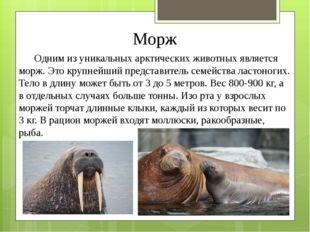 Морж Одним из уникальных арктических животных является морж. Это крупнейший п