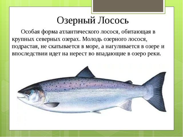 Озерный Лосось Особая форма атлантического лосося, обитающая в крупных северн...