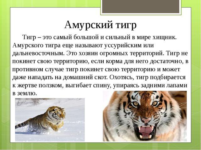Амурский тигр Тигр – это самый большой и сильный в мире хищник. Амурского тиг...