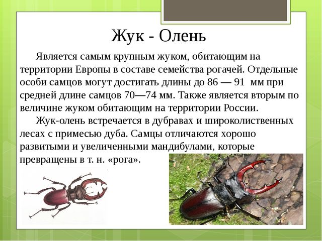 Жук - Олень Является самым крупным жуком, обитающим на территории Европы в со...