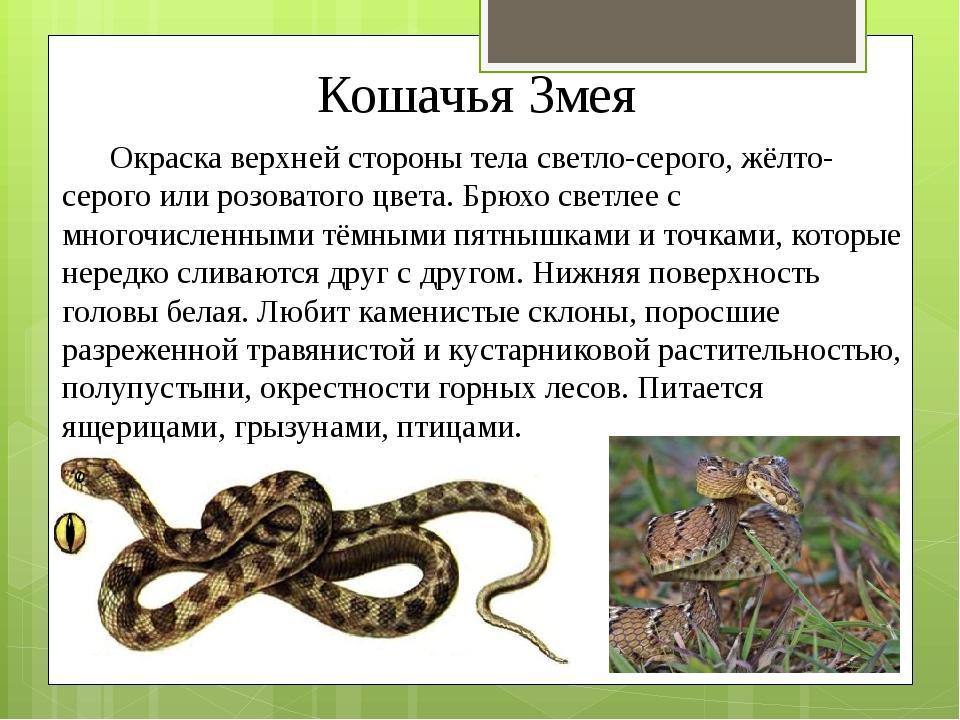 Кошачья Змея Окраска верхней стороны тела светло-серого, жёлто-серого или роз...