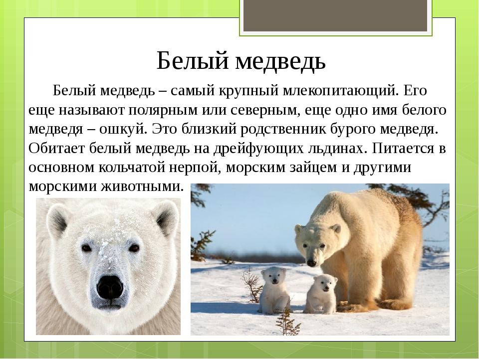 Белый медведь Белый медведь – самый крупный млекопитающий. Его еще называют п...