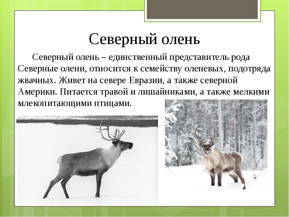 Северный олень Северный олень – единственный представитель рода Северные олен...