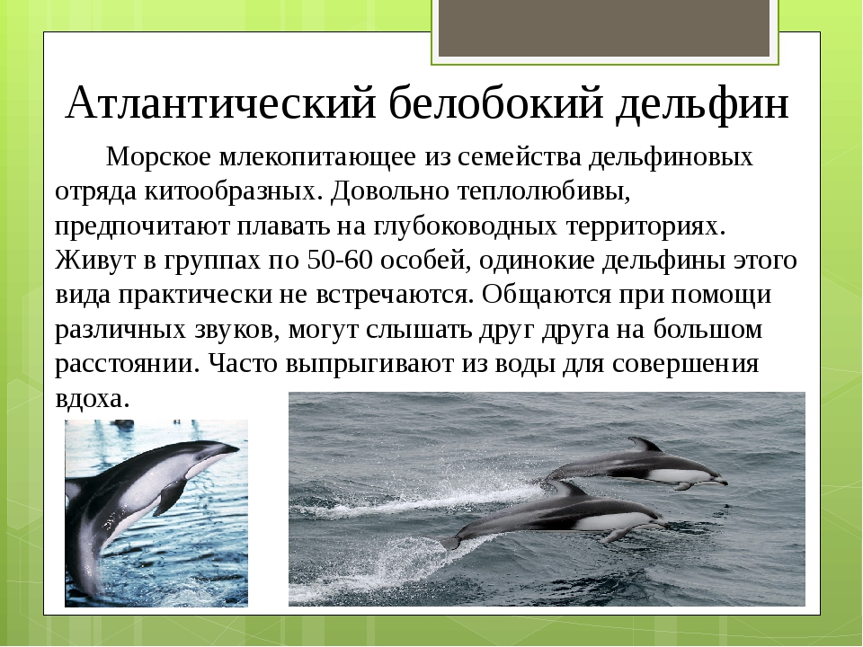 Атлантический белобокий дельфин Морское млекопитающее из семейства дельфиновы...