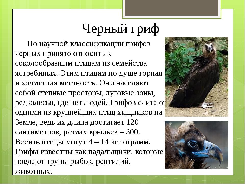 Черный гриф По научной классификации грифов черных принято относить к соколоо...
