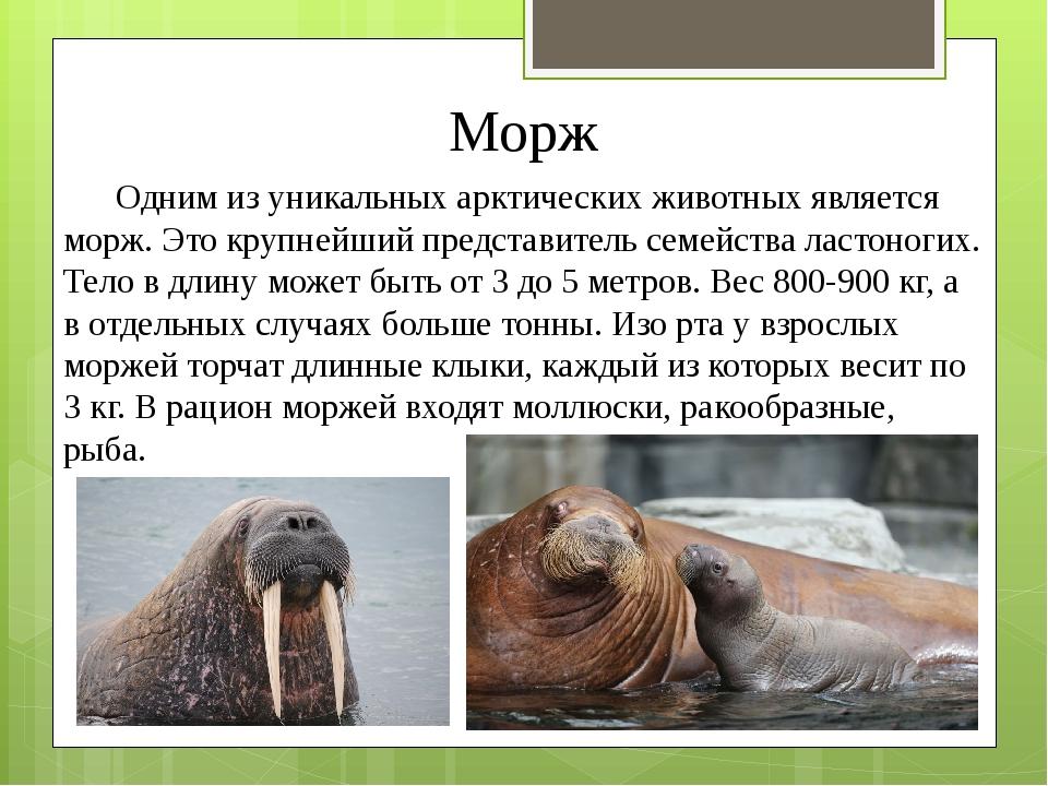 Морж Одним из уникальных арктических животных является морж. Это крупнейший п...