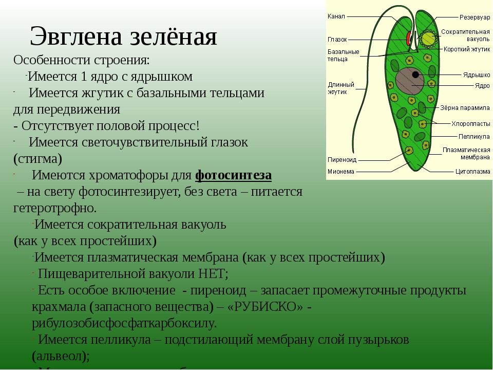 Процессы жизнедеятельности эвглена зелёная: процесс.