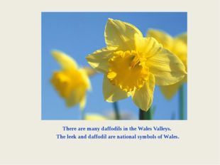 There are many daffodils in the Wales Valleys. The leek and daffodil are nati