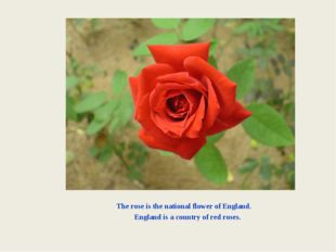 The rose is the national flower of England. England is a country of red roses.