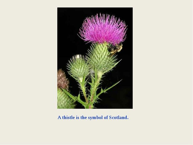 A thistle is the symbol of Scotland.