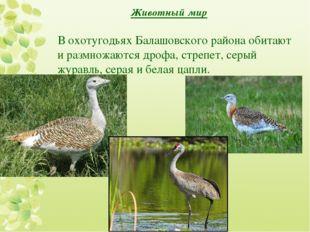 Животный мир В охотугодьях Балашовского района обитают и размножаются дрофа,