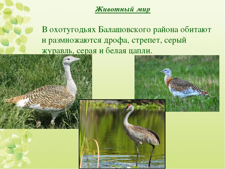 Животный мир В охотугодьях Балашовского района обитают и размножаются дрофа,...