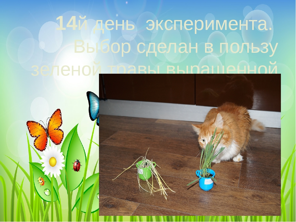 14й день эксперимента. Выбор сделан в пользу зеленой травы выращенной на све...