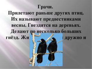 Грачи. Прилетают раньше других птиц. Их называют предвестниками весны. Гнездя