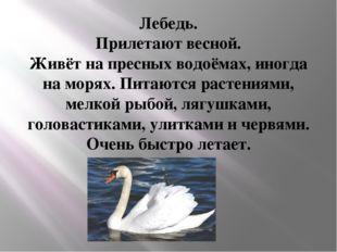 Лебедь. Прилетают весной. Живёт на пресных водоёмах, иногда на морях. Питаютс