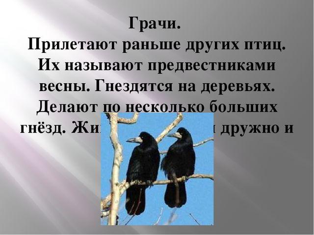 Грачи. Прилетают раньше других птиц. Их называют предвестниками весны. Гнездя...