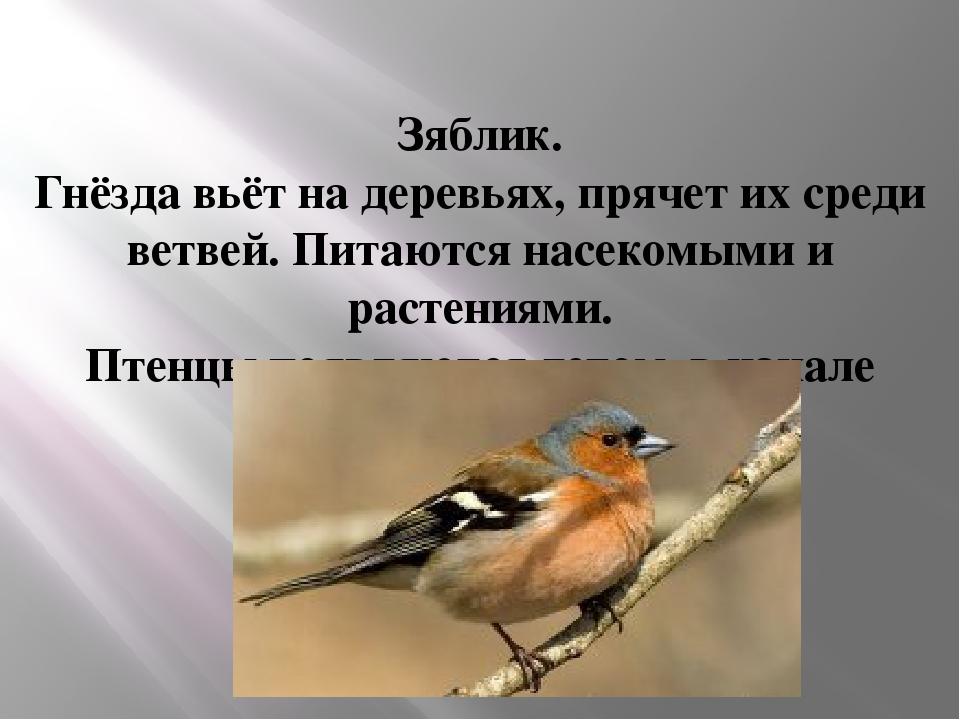 Зяблик. Гнёзда вьёт на деревьях, прячет их среди ветвей. Питаются насекомыми...