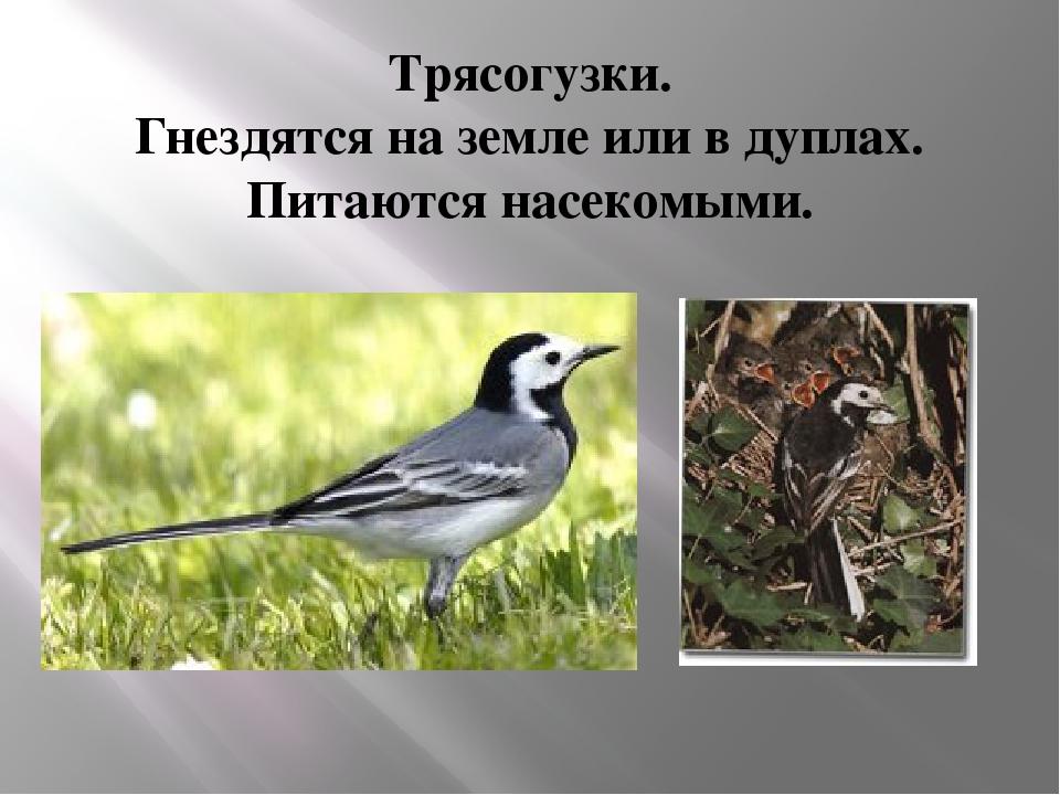 Трясогузки. Гнездятся на земле или в дуплах. Питаются насекомыми.