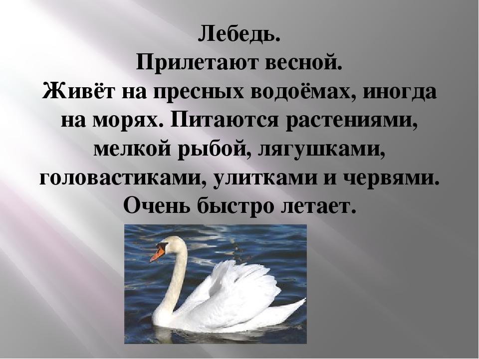 Лебедь. Прилетают весной. Живёт на пресных водоёмах, иногда на морях. Питаютс...