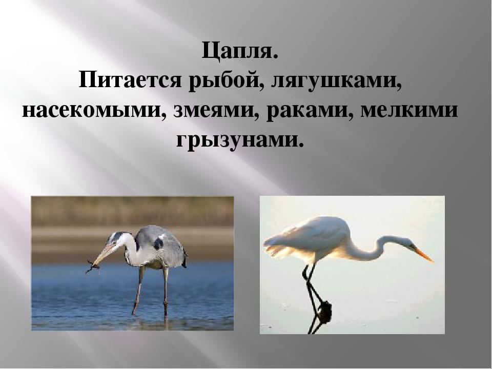 Цапля. Питается рыбой, лягушками, насекомыми, змеями, раками, мелкими грызуна...