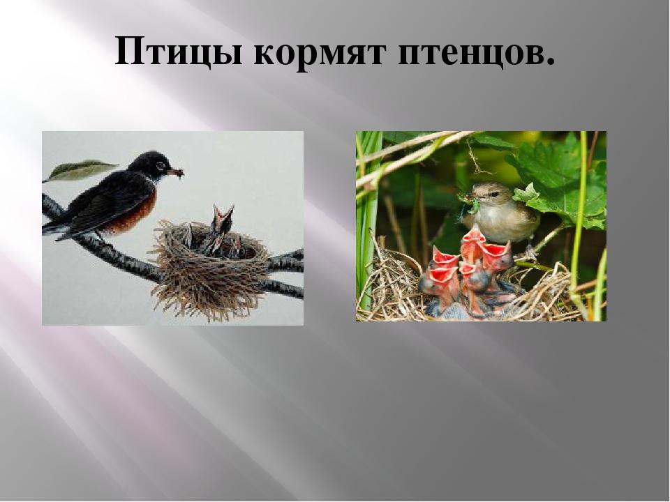 Птицы кормят птенцов.