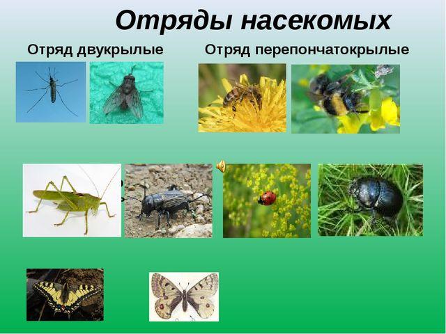 Отряды насекомых Отряд двукрылые Отряд перепончатокрылые Отряд прямокрылые От...