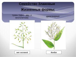 Жизненные формы: травы (одно-, дву- и многолетние) древовидные бамбук овес по