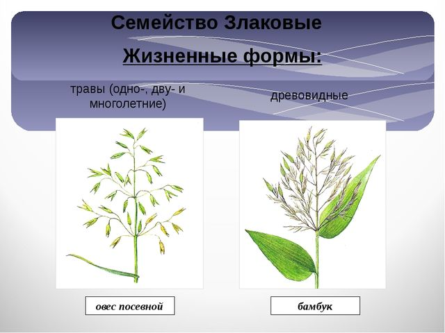 Жизненные формы: травы (одно-, дву- и многолетние) древовидные бамбук овес по...