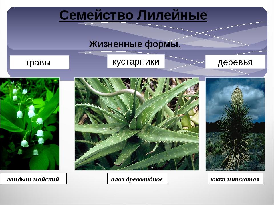 Жизненные формы. травы деревья кустарники ландыш майский алоэ древовидное юкк...