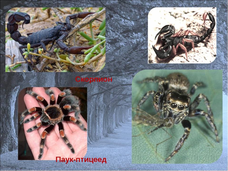 Паук-птицеед Скорпион