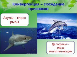 Конвергенция – схождение признаков Акулы – класс рыбы Дельфины – класс млекоп