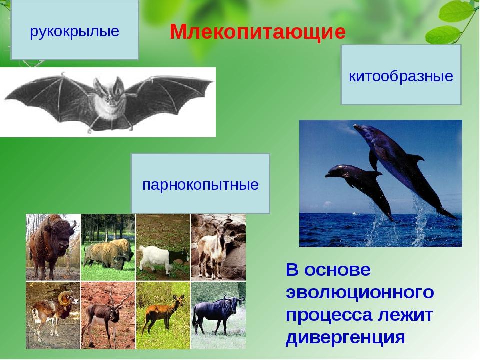 Млекопитающие рукокрылые парнокопытные китообразные В основе эволюционного пр...