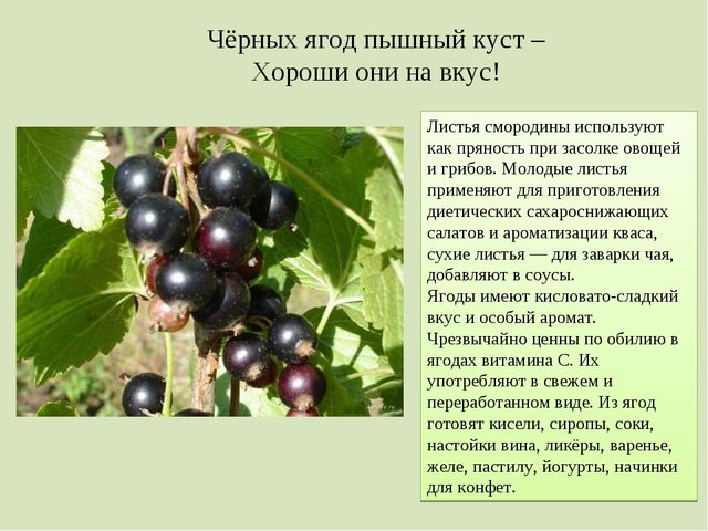 Чёрных ягод пышный куст – Хороши они на вкус! Листья смородины используют как...