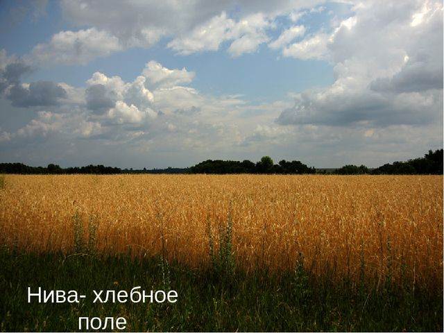 Нива- хлебное поле