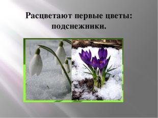Расцветают первые цветы: подснежники.