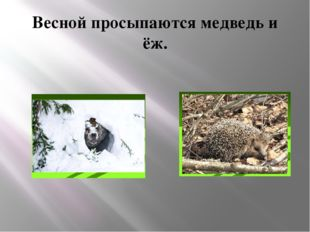 Весной просыпаются медведь и ёж.