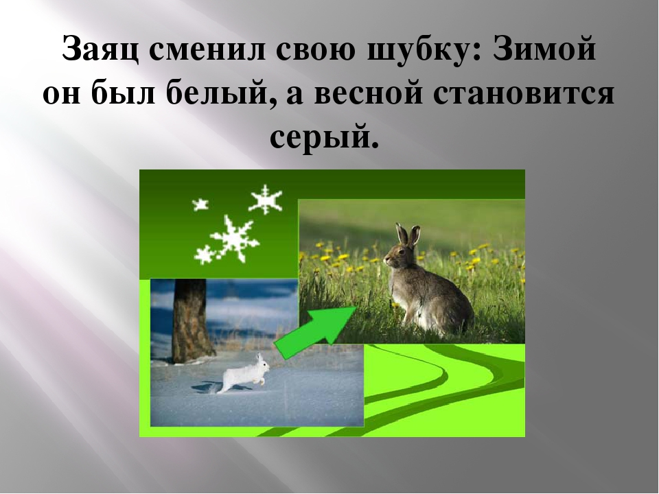Заяц сменил свою шубку: Зимой он был белый, а весной становится серый.