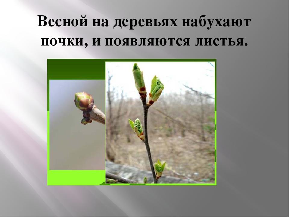 Весной на деревьях набухают почки, и появляются листья.
