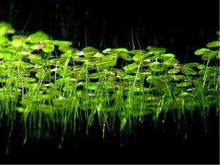 Заросли ряски состоят из множества отдельных плоских лепешек овальной формы р