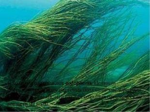 В толще воды плавают водоросли. Целиком погруженные в воду растения получают