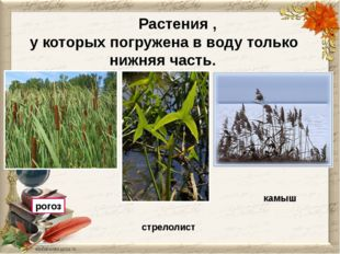 Растения , у которых погружена в воду только нижняя часть. рогоз стрелолист