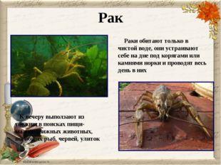 Рак Раки обитают только в чистой воде, они устраивают себе на дне под корягам