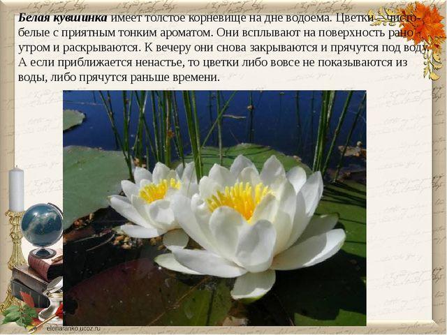 Белая кувшинка имеет толстое корневище на дне водоема. Цветки – чисто-белые с...