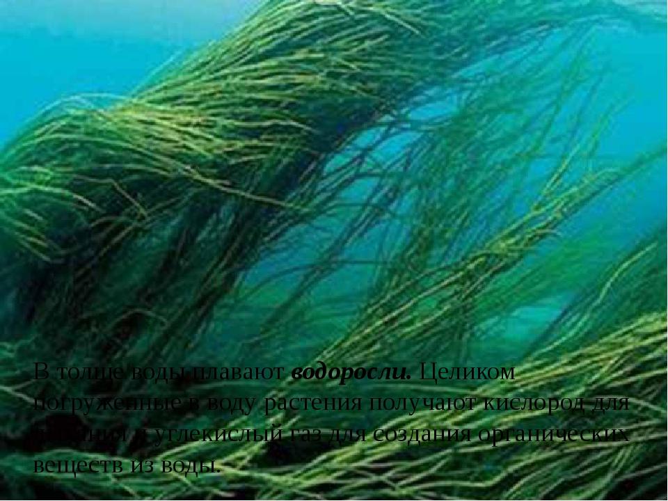 В толще воды плавают водоросли. Целиком погруженные в воду растения получают...