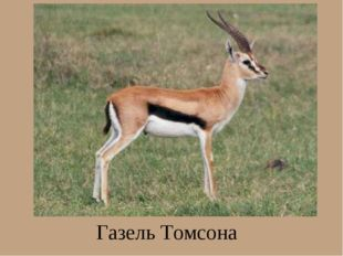 Газель Томсона