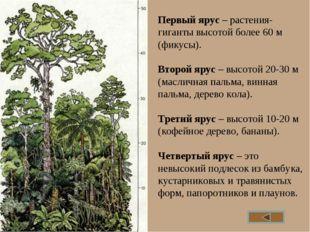 Первый ярус – растения-гиганты высотой более 60 м (фикусы). Второй ярус – выс